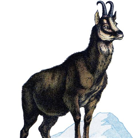 Vintage Goat Clip Art The Graphics Fairy