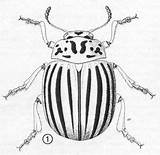 Potato Beetle Colorado Bug Insects Illustration Bugs Insect Leptinotarsa Weird Decemlineata Adult Drawings Beetles Coloring Leaf Anatomy Comparisons Embroidery Say sketch template