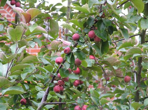 crab apples trees mark s veg plot a feast for the eyes