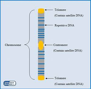 Difference Between Repetitive DNA and Satellite DNA ...