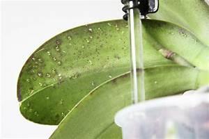 Schädlinge Zimmerpflanzen Klebrige Blätter : phalaenopsis orchideen krankheiten sch dlinge ~ Lizthompson.info Haus und Dekorationen