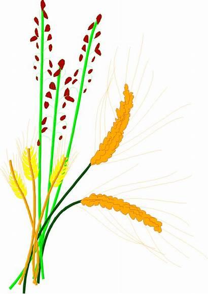 Grain Rice Clipart Clip Cereal Flour Barley