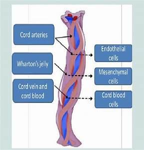 Umbilical Cord Blood Stem Cells  116