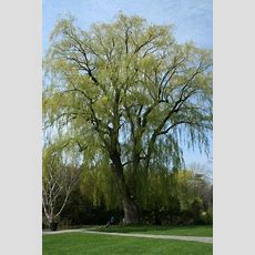 Willow Tree Care  Tips For Planting Willow Trees In The