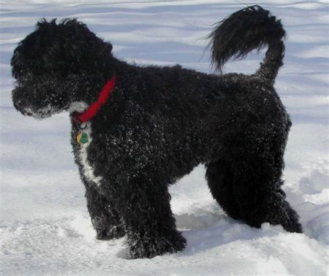portuguese water dog dogs breeds pets