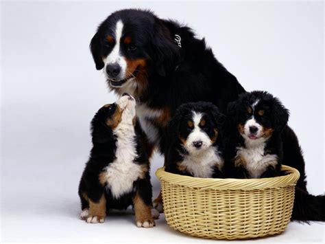 1000 images about loyal bernese mountain dogs on pinterest bernese mountain dogs mountain