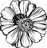 Zinnia Flower Drawing Coloring Zinnias Major Illustration Astere Draw Vector Printable Getcolorings Getdrawings sketch template