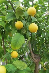 Großen Apfelbaum Kaufen : gro en orangenbaum zitronenbaum citruspflanzen shop kaufen ~ Frokenaadalensverden.com Haus und Dekorationen