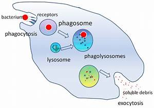 Difference Between Innate Immunity And Acquired Immunity