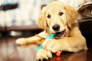 Best Chew Toys for Golden Retrievers - Lucky Golden Retriever