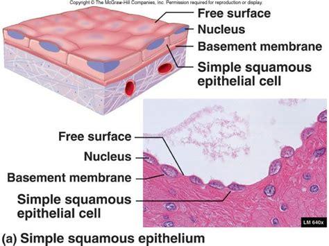 simple squamous epitheium apoverview pinterest