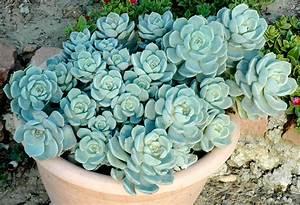echeveria planter et cultiver ooreka With modeles de rocailles jardin 9 thym planter et tailler ooreka