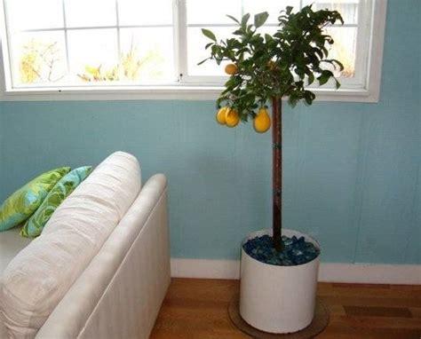 Concime Limoni In Vaso by Concimazione Limoni In Vaso Concime Come Concimare Limoni