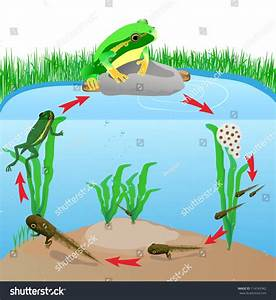 Life Cycle European Tree Frog Metamorphose Stock Vector