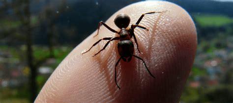 sugar ant bites     treat ant bites