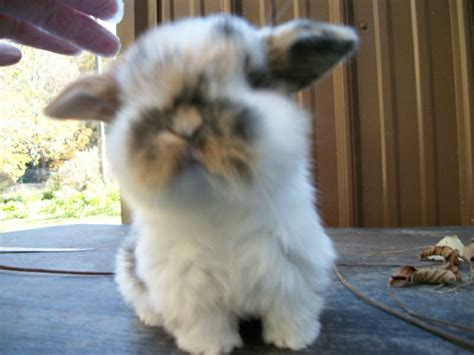 tri color baby holland lop  tri colors    development tri colors  white