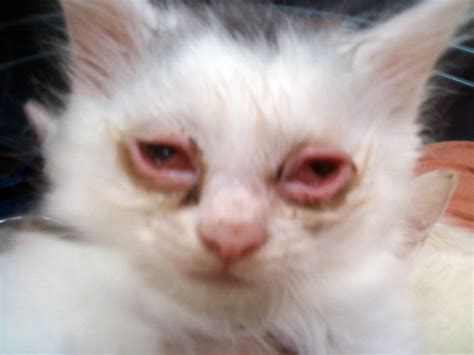 Blog About Cats Cat Pink Eye