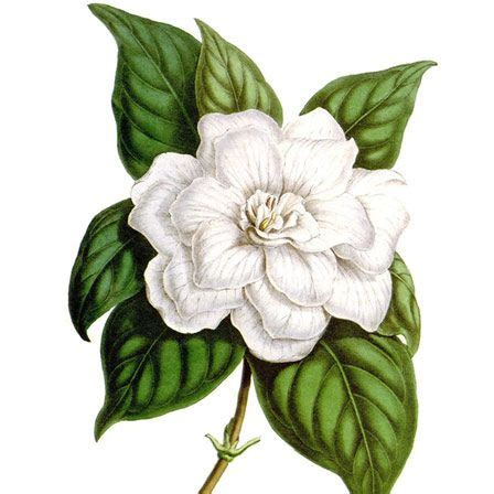 the gallery for gt flower botanical drawing