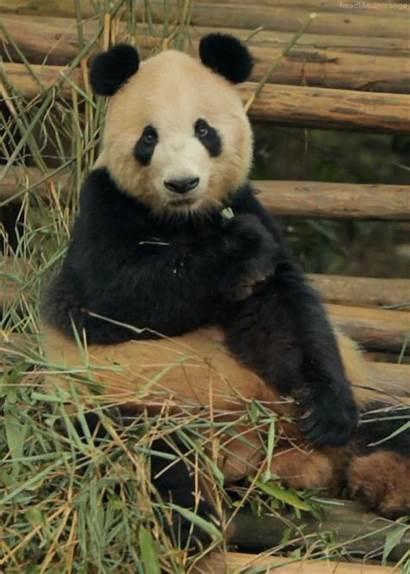 Panda Gifs Cutest Chewing Pbh2 Chew