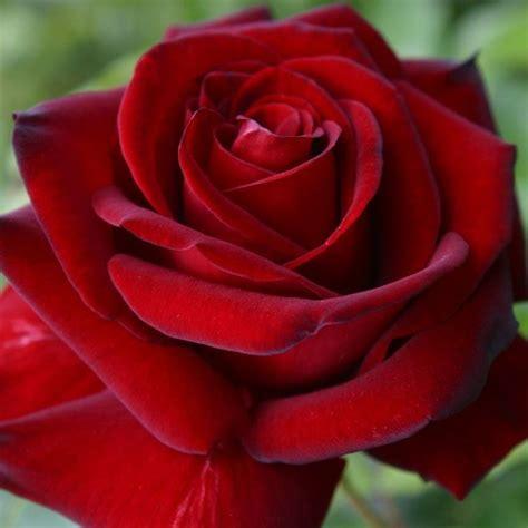 rosa erotika rose moderne  cespuglio  rose