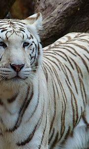 White Bengal Tiger Noble - Free photo on Pixabay