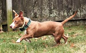 Pit Bull/Dachshund mix - Jerry | Mid-America Bully Breed ...