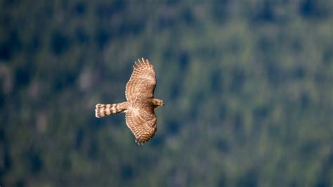 wallpaper hawk flight air photography animals