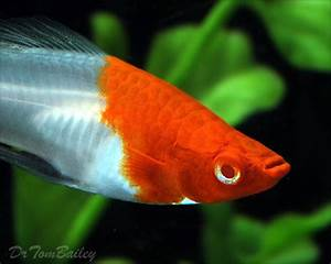 Swordtail Fish for Aquariums with Information and pictures