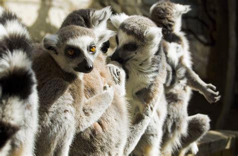 List of lemur species Wiki Everipedia