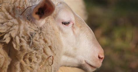 sore mouth  pox virus  sheep