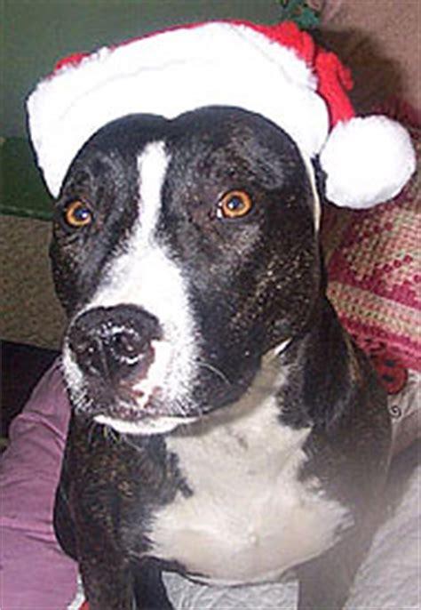 pitbull border collie mixed breed dog  dog encyclopedia dogs  depthcom