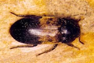 eeek a bug possible larder beetles weusecoupons com