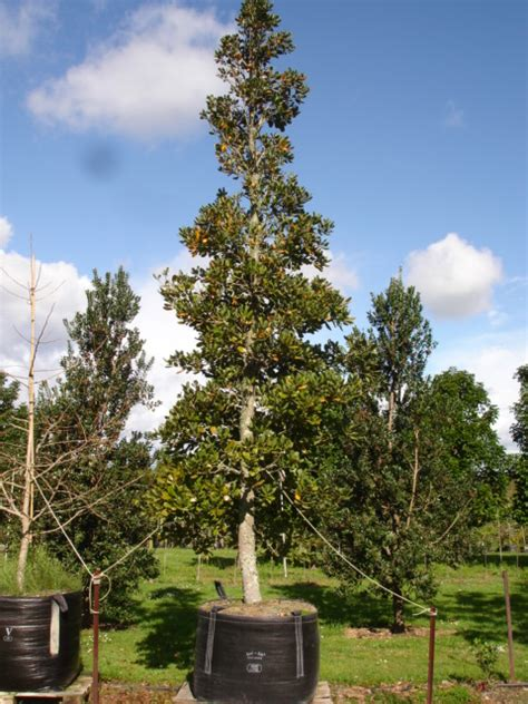 Good Nursery Guide by Beilschmiedia Taraire Taraire Tauranga Tree Co