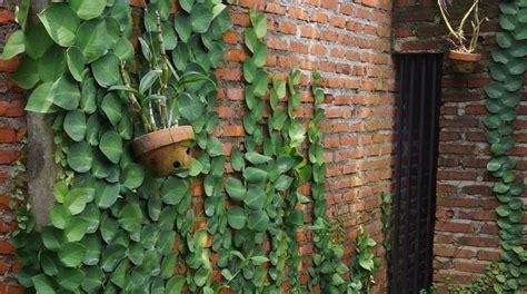 jual pohon dollar tanaman merambat tembok www