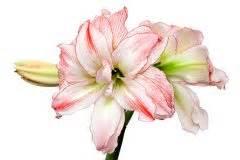 Amaryllis Zum Blühen Bringen : amaryllis samen s en so gehen sie dabei vor ritterstern ~ Lizthompson.info Haus und Dekorationen