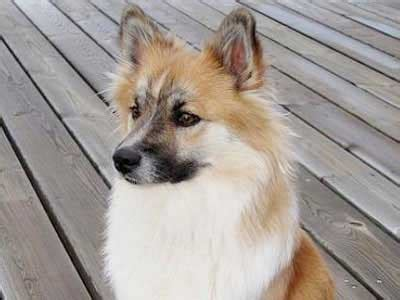 icelandic sheepdog information characteristics facts