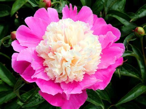 draugiem.lv | Peony flower photos, Flower photos, Peony flower