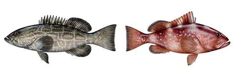 grouper vs ftempo nutrition better