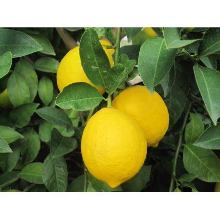 Hawaii Live Plants 3 Gallon Potted Lemon Fruit Tree