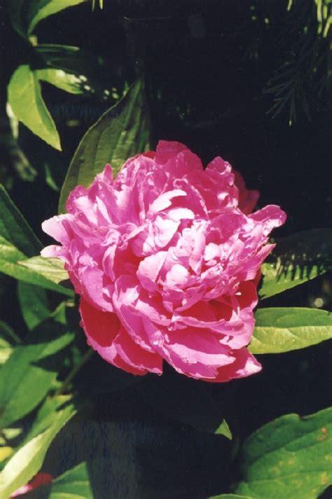 fotos rosa blumen und pflanzen   pink flowers