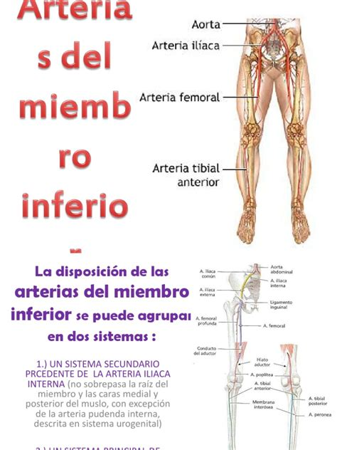 Arteria iliaca comun pdf download