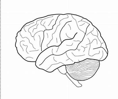 Brain Coloring Pages Anatomy Drawing Printable Human