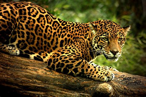 Jaguar Picture by Fowler R Up Research Project Hadassah Latson Jaguar