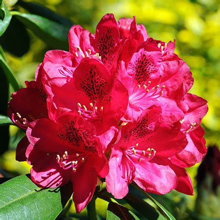 petals for sale rhododendron shrubs for sale fast growing trees