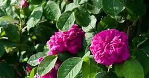 Rose Mein Schöner Garten : strauchrose rose de resht informationen tipps tricks ~ Lizthompson.info Haus und Dekorationen