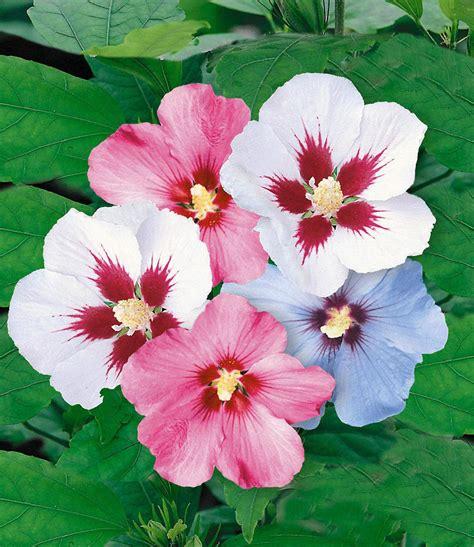pflanzen für hecke hibiskus hecke 10 pflanzen g 252 nstig kaufen mein sch 246 ner garten shop