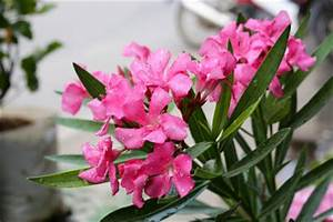 Oleander Zurückschneiden Video : anleitungen im bereich garten zum thema oleander ~ Lizthompson.info Haus und Dekorationen