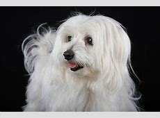 Malteser ⋆ Hunde