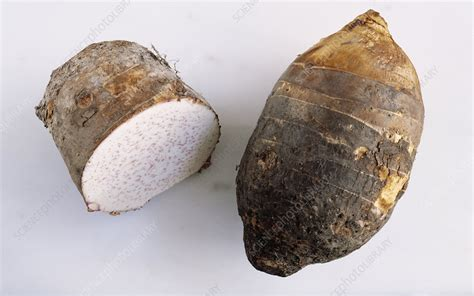 Taro Root Vegetables  Stock Image H1102125 Science