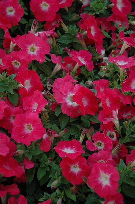 Mambo Red Morn Petunia (Petunia 'Mambo Red Morn') in